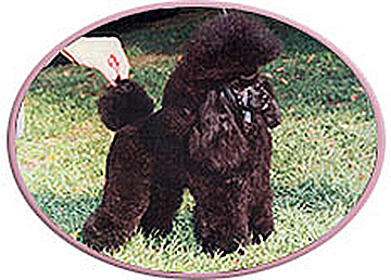 Kathys House Of Poodles Quality Akc Poodles With Champion